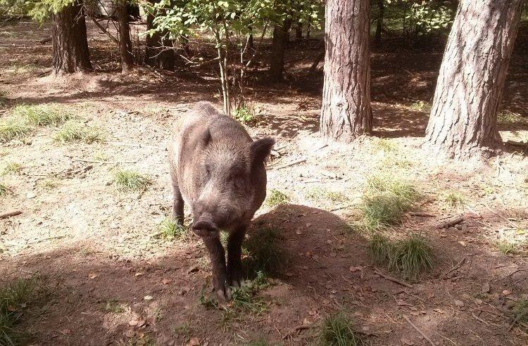 Очаг африканской чумы свиней в Дальнеконстантиновском районе локализован - фото 1