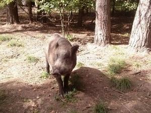 Очаг африканской чумы свиней в Дальнеконстантиновском районе локализован