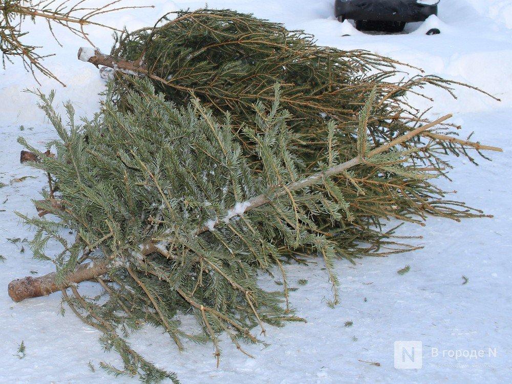 За две срубленные елки жителю Шаранги грозит лишение свободы - фото 1