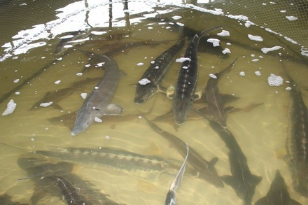 В Нижегородской области будут наращивать объемы производства рыбы