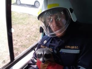 В МЧС рассказали, как спасали енота на Бурнаковке