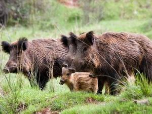 Африканская чума свиней добралась до Перевозского и Сосновского районов