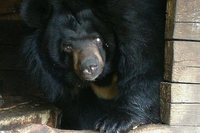 Одноглазая медведица из нижегородского зоопарка «Мишутка» переедет в «Лимпопо» - фото 1