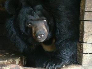 Одноглазая медведица из нижегородского зоопарка «Мишутка» переедет в «Лимпопо»