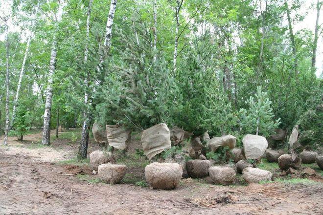 70 сосен румелийских высадят в Светлоярском парке - фото 1