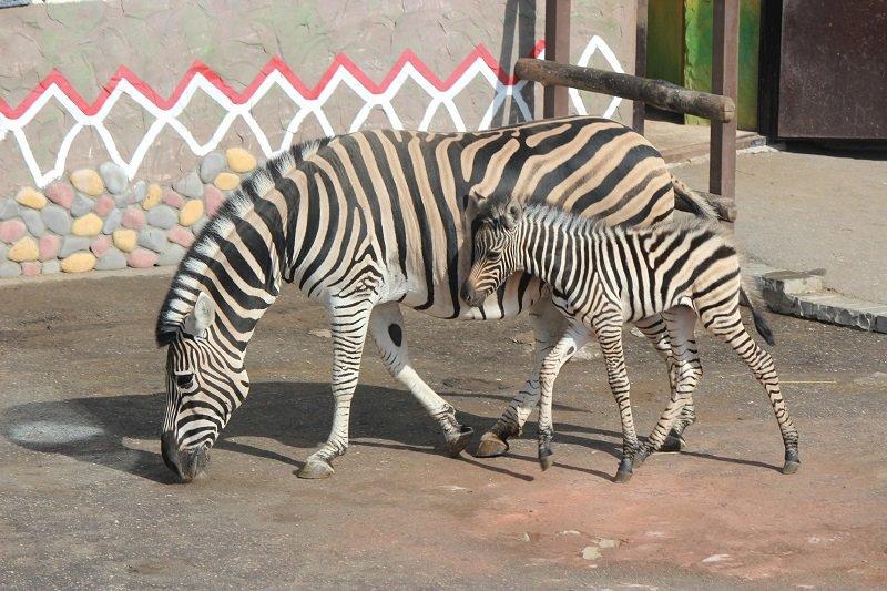 Имя для детеныша зебры будут выбирать всем Нижним Новгородом - фото 1