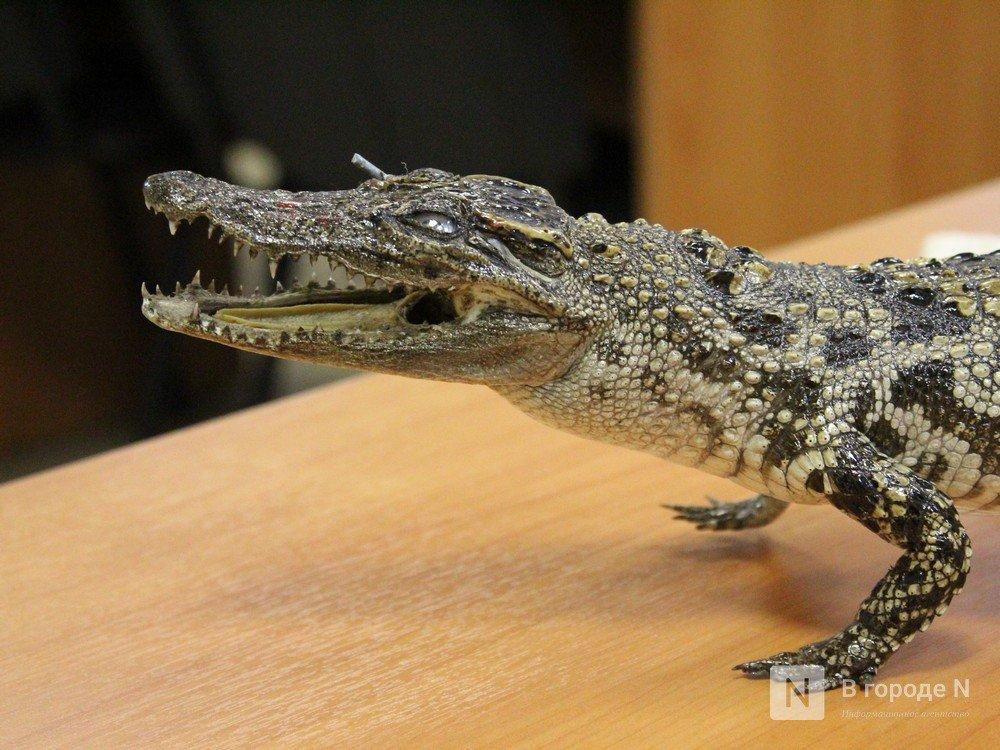 """Крокодил в багаже: нижегородские таможенники показали """"шедевры"""" контрабанды - фото 3"""