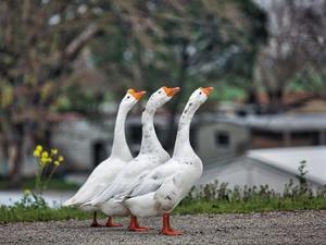 Администрация Приокского района борется с гусями
