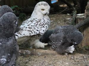 В «Лимпопо» полярные совы выкармливают восьмерых птенцов (ФОТО)
